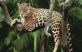 Desde Paraguay llegó Chiqui, el yaguareté que busca salvar a la especie