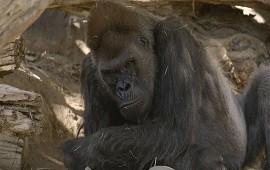 11/01/2021: Un grupo de gorilas en un zoológico en California se contagió de COVID-19