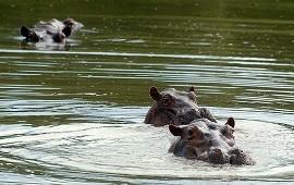 11/01/2021: La invasión de los hipopótamos: Colombia se está quedando sin tiempo para acabar con el legado más salvaje de Pablo Escobar