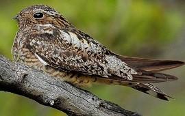 04/03/2021: Hallaron en el norte entrerriano una especie de ave no registrada en Argentina