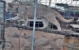 28/05/2019: Un vecino de Concordia convivía con dos pumas encerrados en jaulas