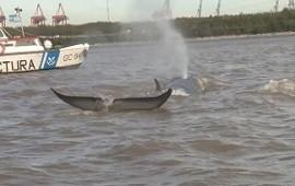 10/06/2017: Ya no quedan esperanzas para la ballena varada desde hace cuatro días
