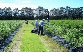 28/08/2020: Se buscará una solución para que los arandaneros no pierdan el IFE tras la cosecha