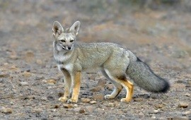 Evaluaron la situación de las poblaciones de zorro y otras especies