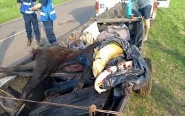 05/11/2019: Trasladaban en un trailer un chancho jabalí desvicerado, pescados y perros
