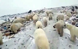 05/12/2019: Rusia: un pueblo debió cancelar todas sus actividades por una invasión de osos polares